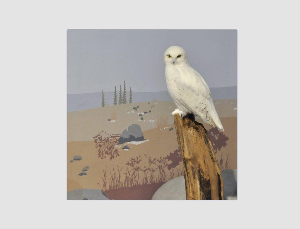 """Detailansicht der Ausstellung """"Eiszeitsafari"""" im Landesmuseum Koblenz, Schneeeule vor Wandbemalung"""