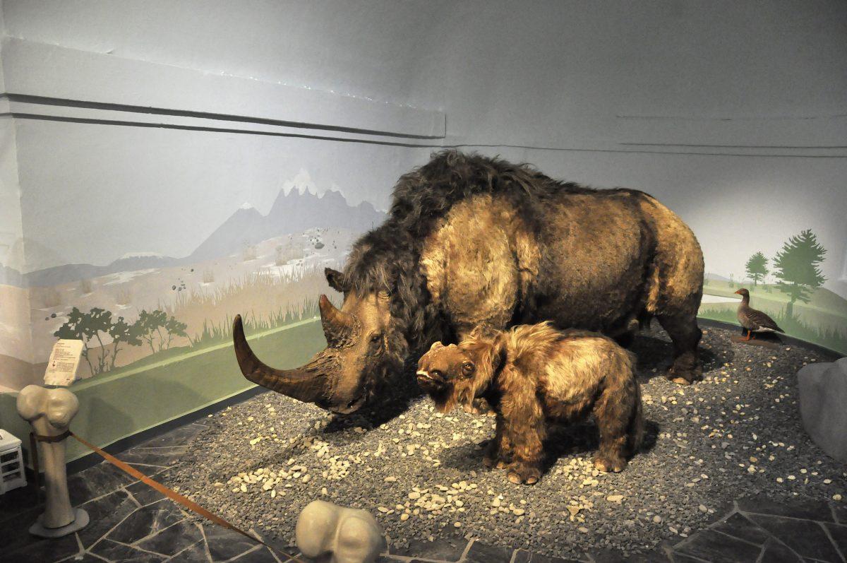 """Blick in die Ausstellung """"Eiszeitsafari"""" im Landesmuseum Koblenz, Wollnashorn mit Baby im Bild"""