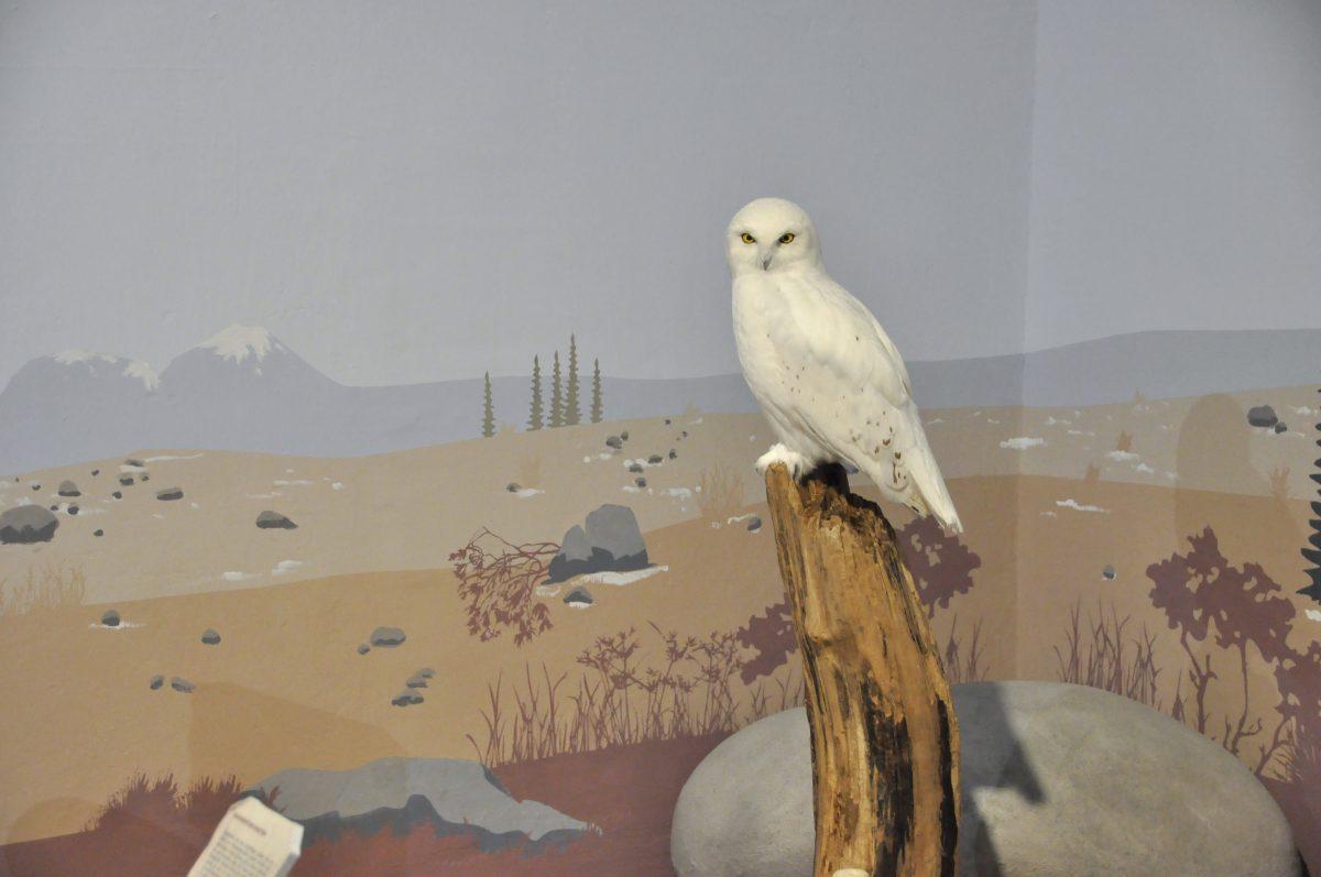 """Blick in die Ausstellung """"Eiszeitsafari"""" im Landesmuseum Koblenz, Tundra mit Schneeeule"""